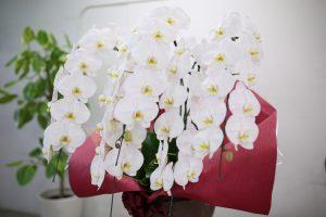 白大輪胡蝶蘭5本立て
