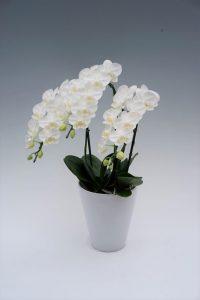 胡蝶蘭アマビリス