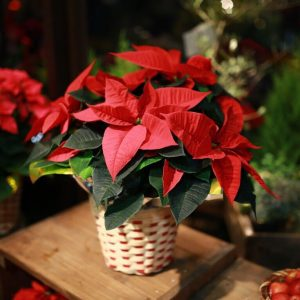 クリスマス特集ポインセチア
