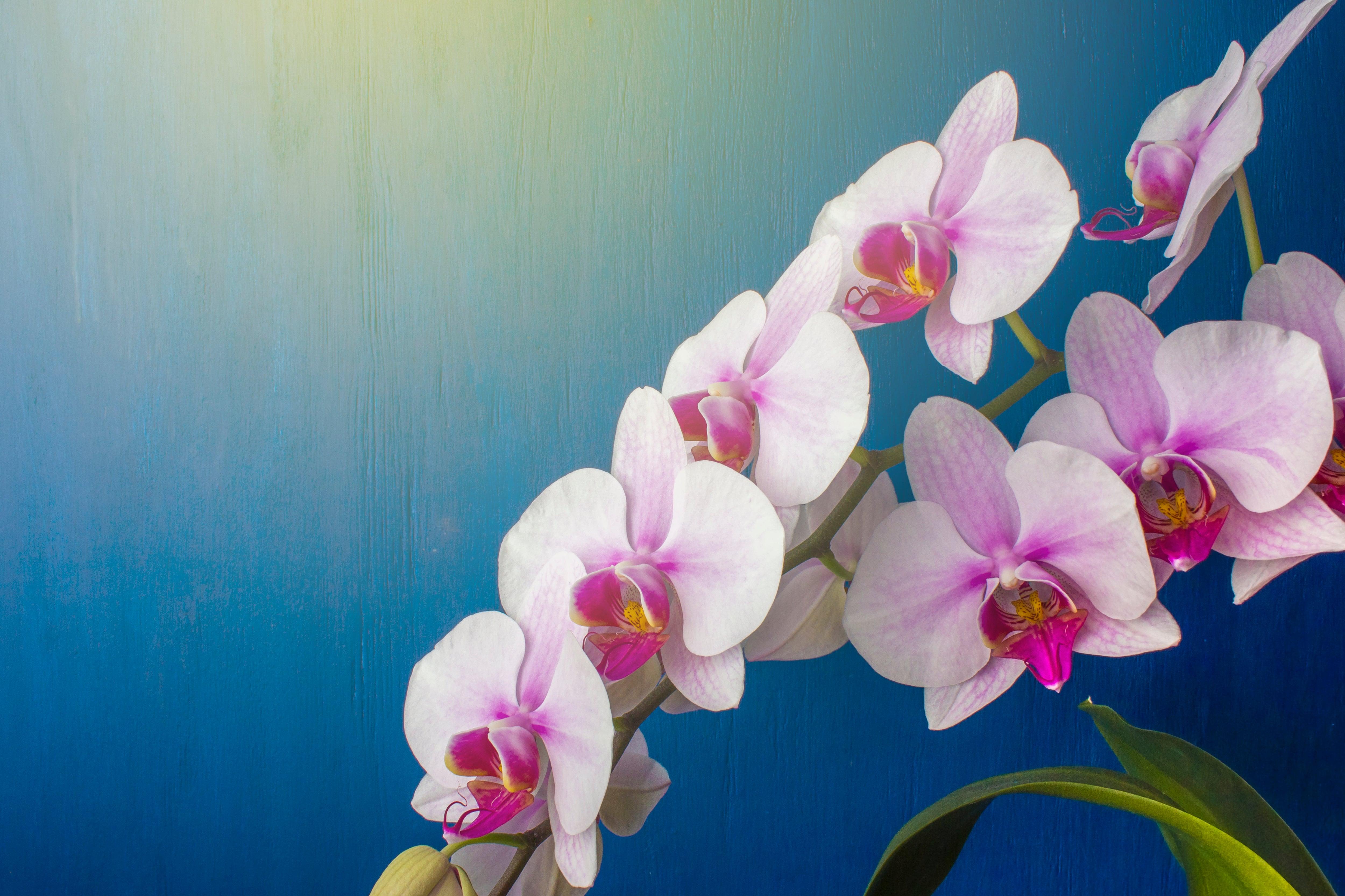 桃色の胡蝶蘭