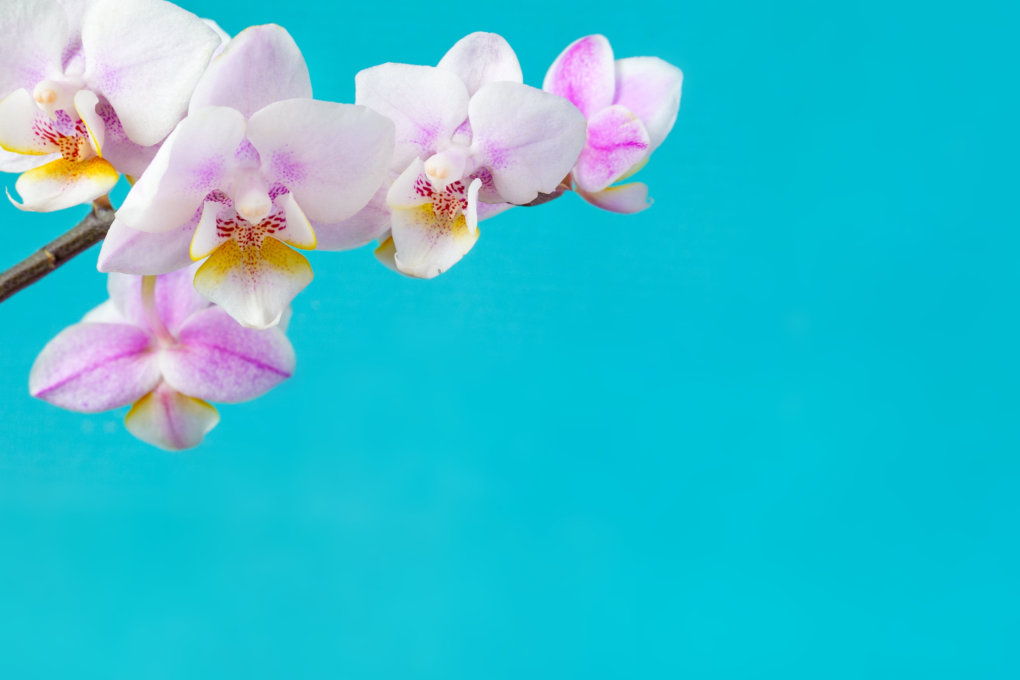 黄色いリップの胡蝶蘭