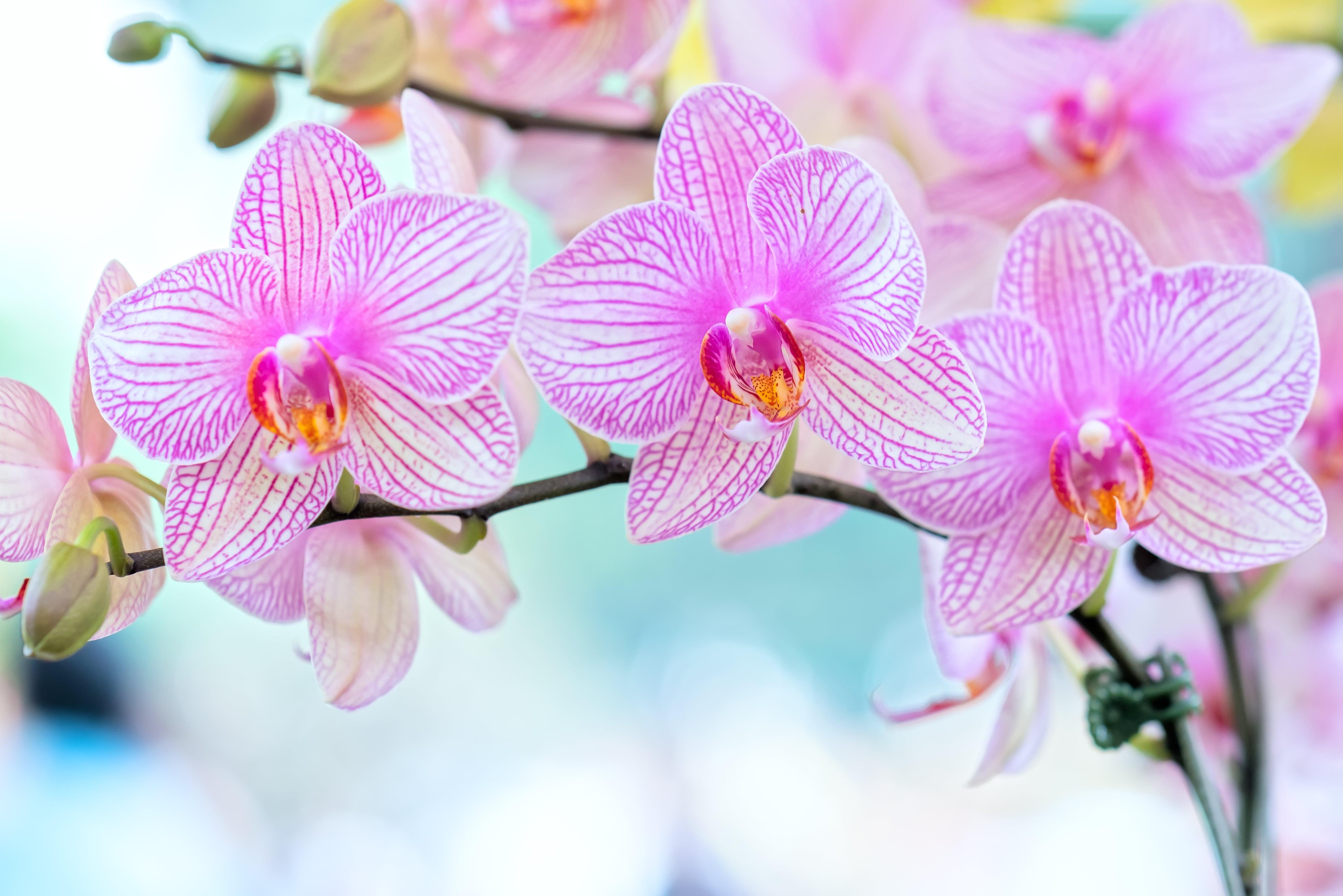 薄いピンクの胡蝶蘭