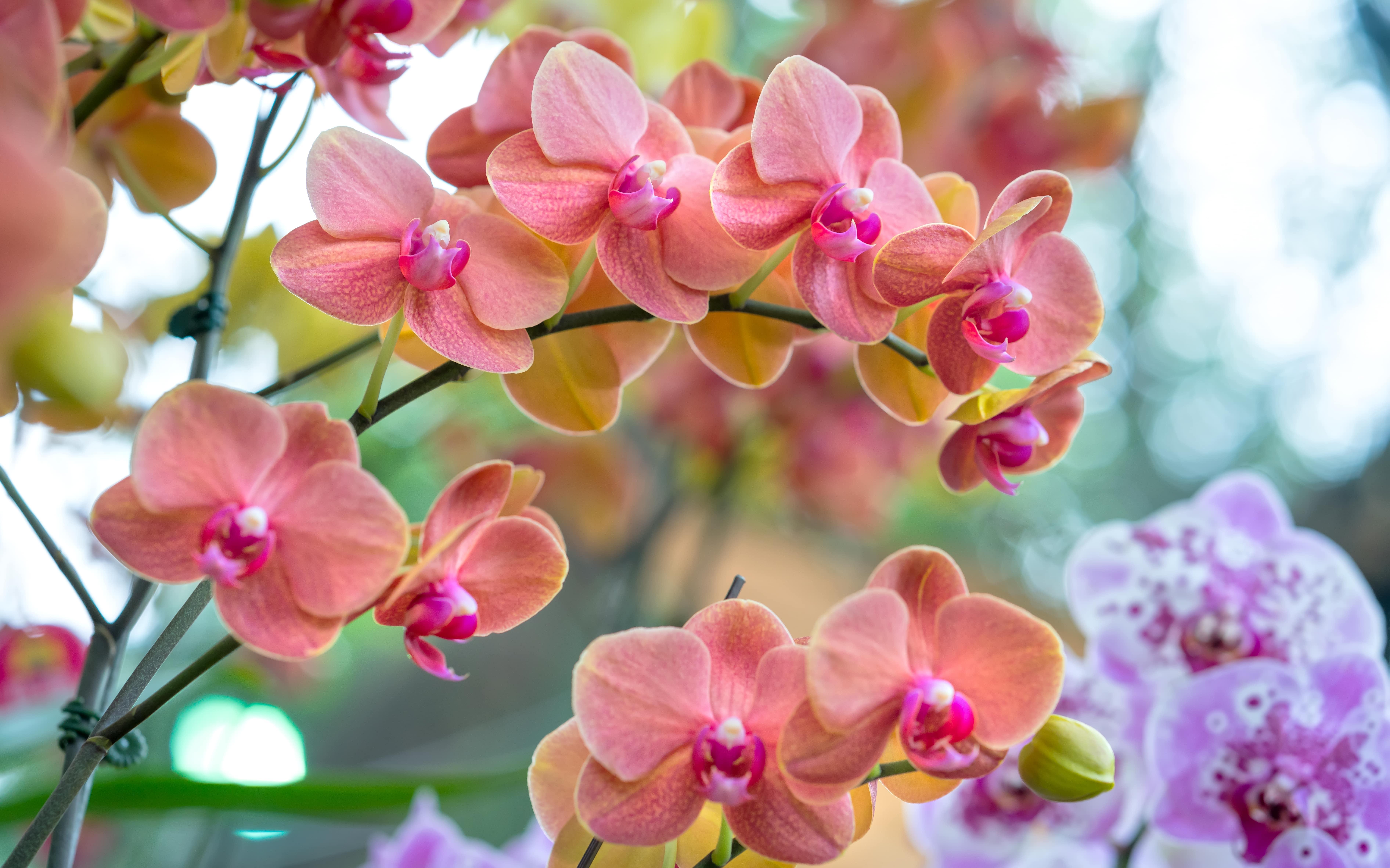 産地直送の胡蝶蘭