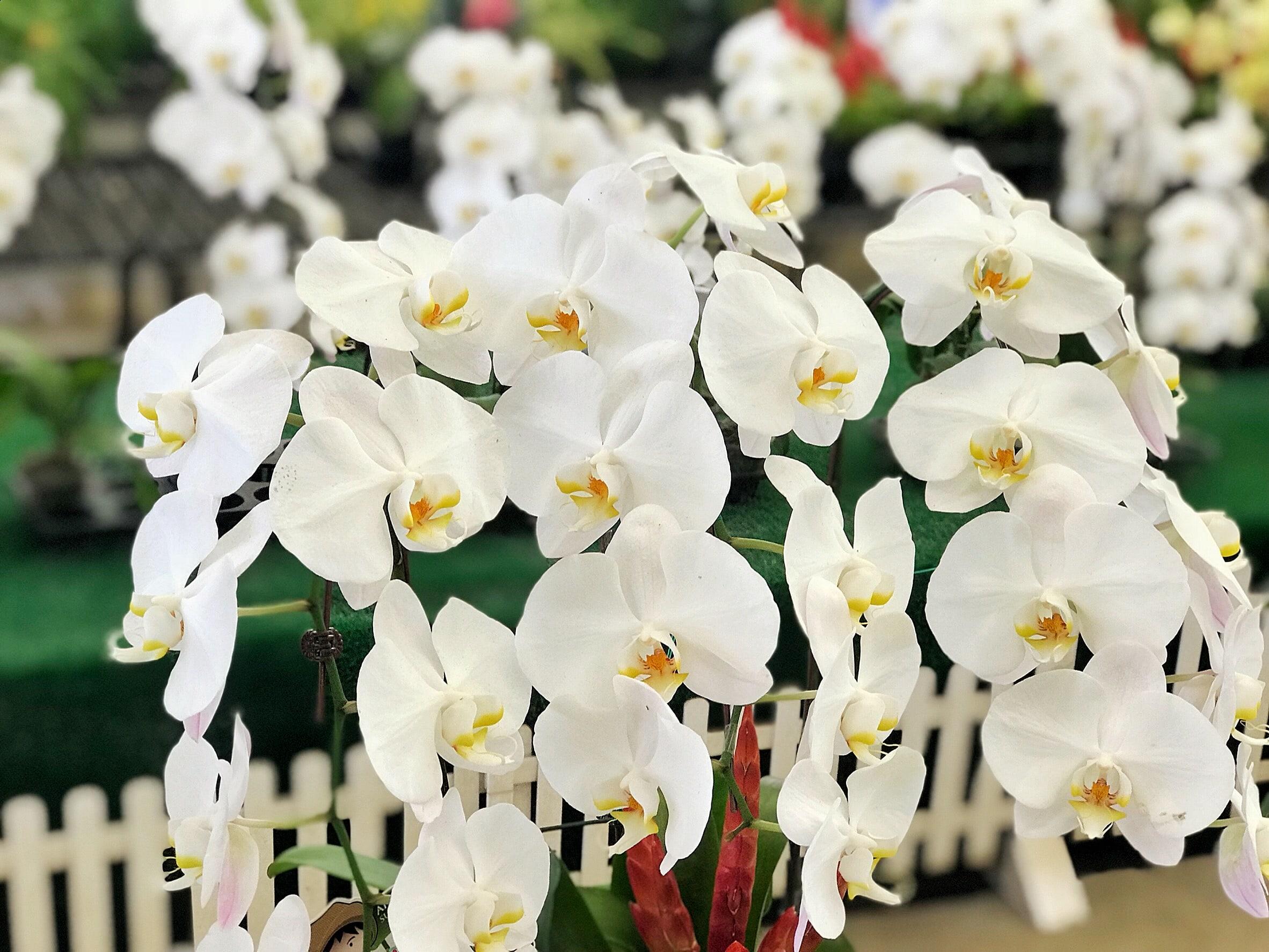白い胡蝶蘭