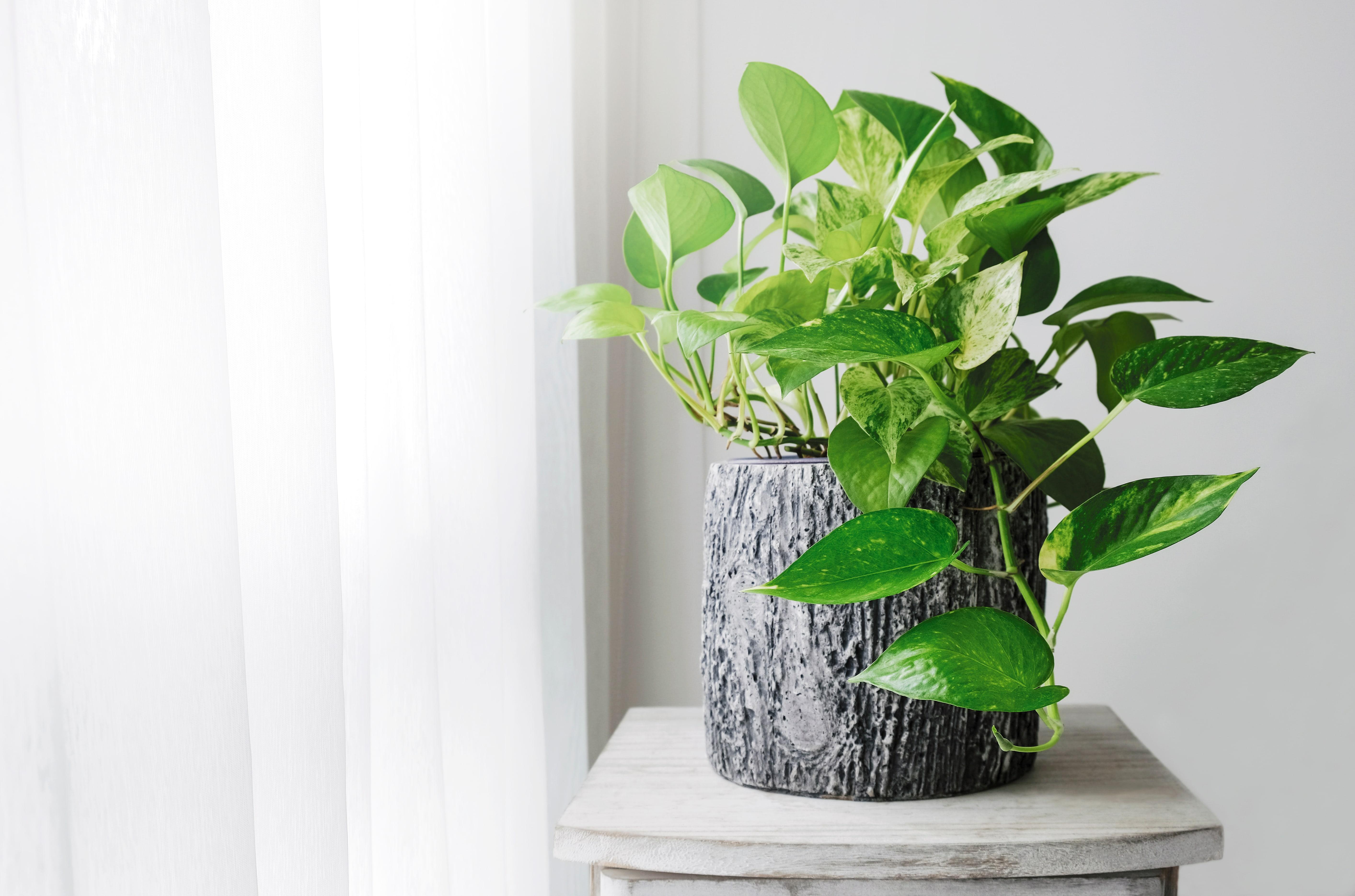観葉植物の鉢植え