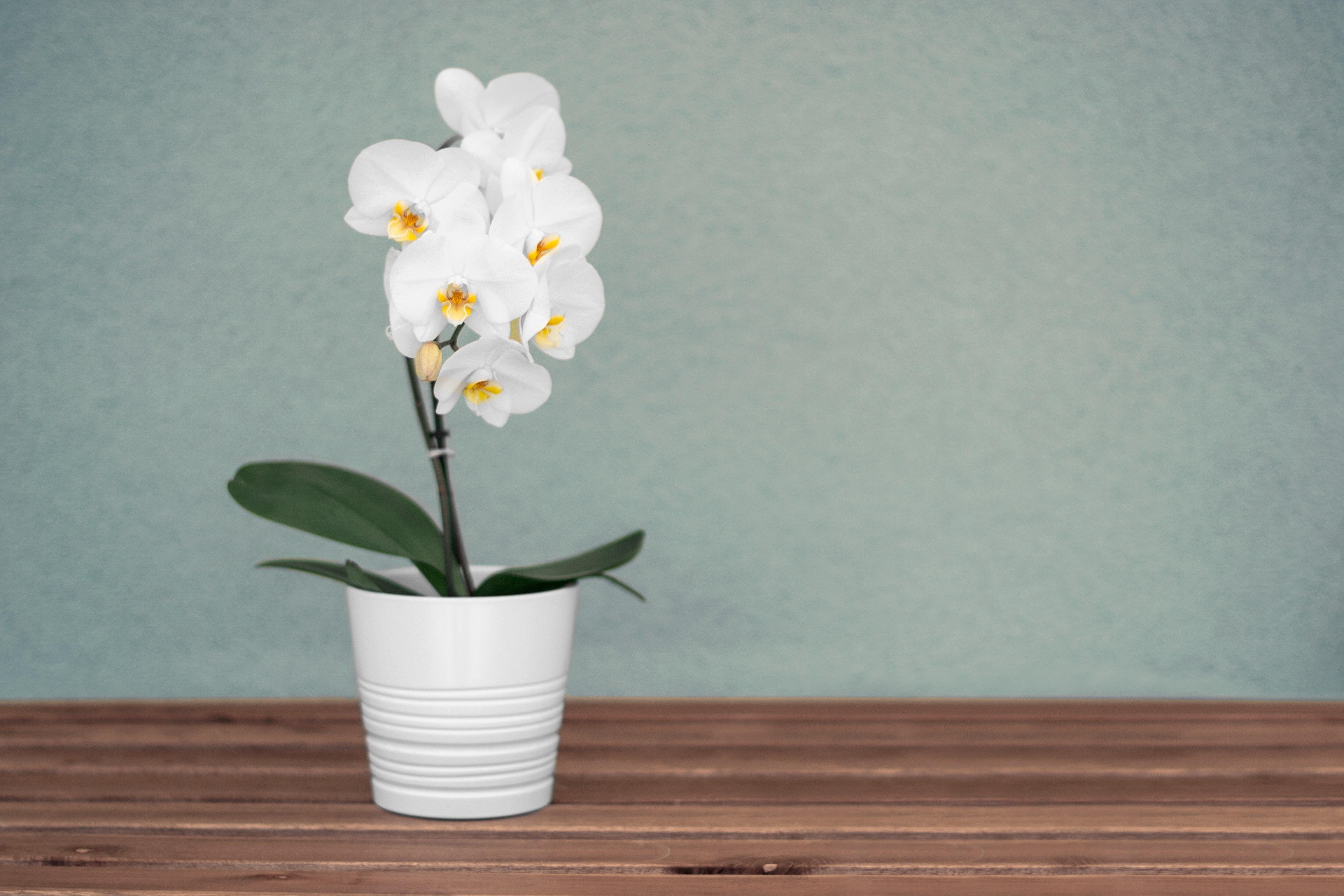 白く可愛いい胡蝶蘭