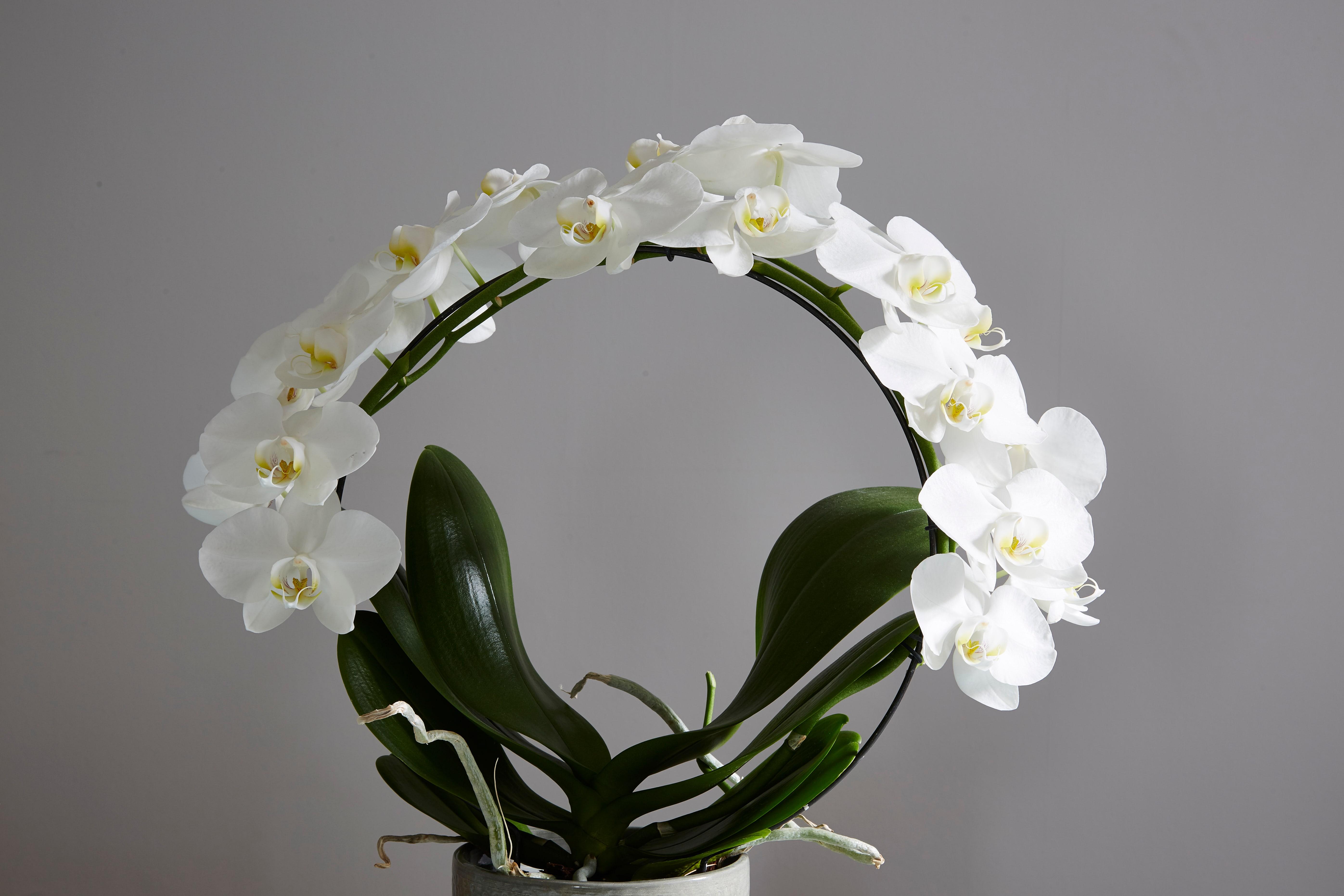 白い輪の胡蝶蘭
