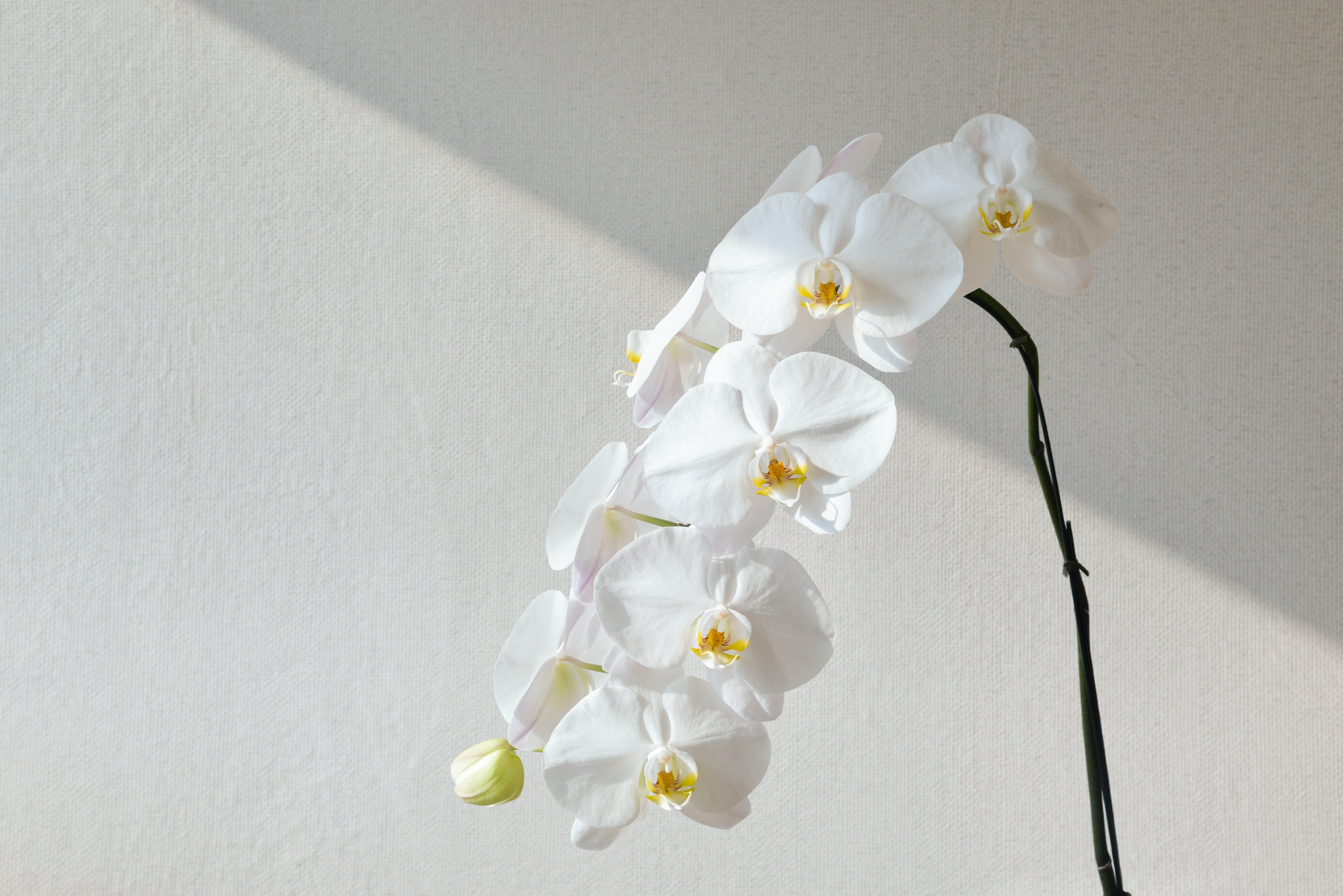 日に当たる白い胡蝶蘭