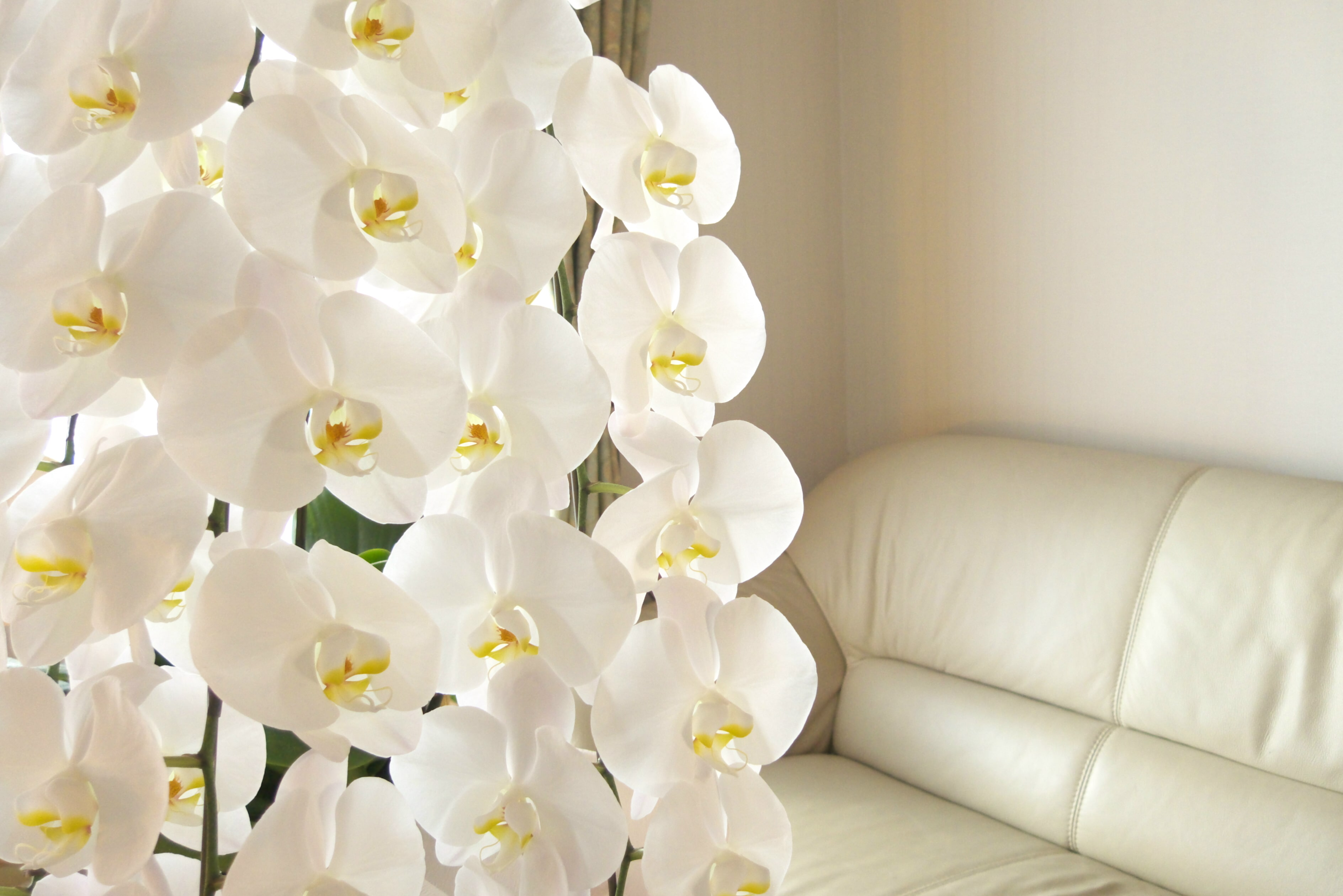 白の大輪胡蝶蘭5本立て