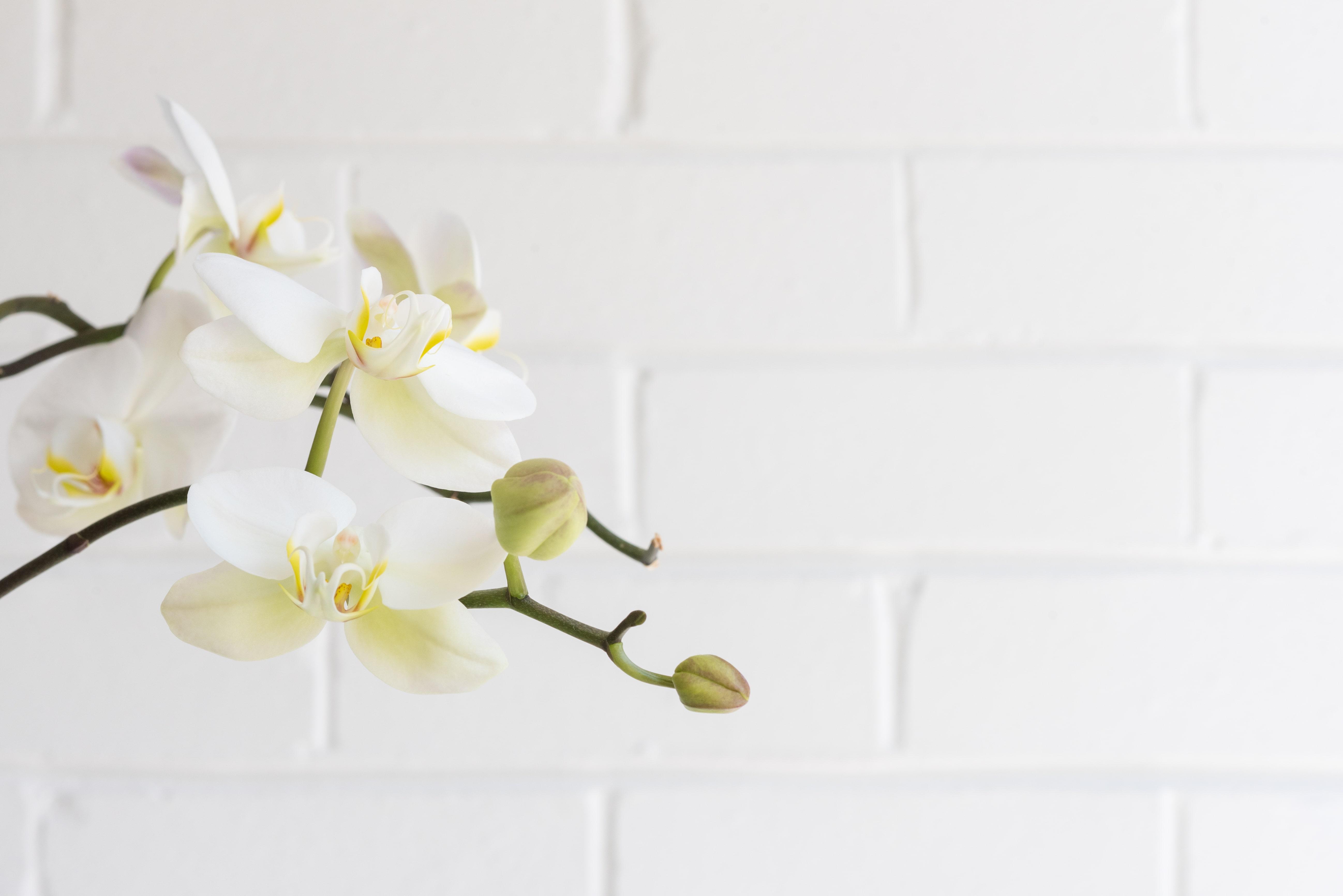 胡蝶蘭の置き場所