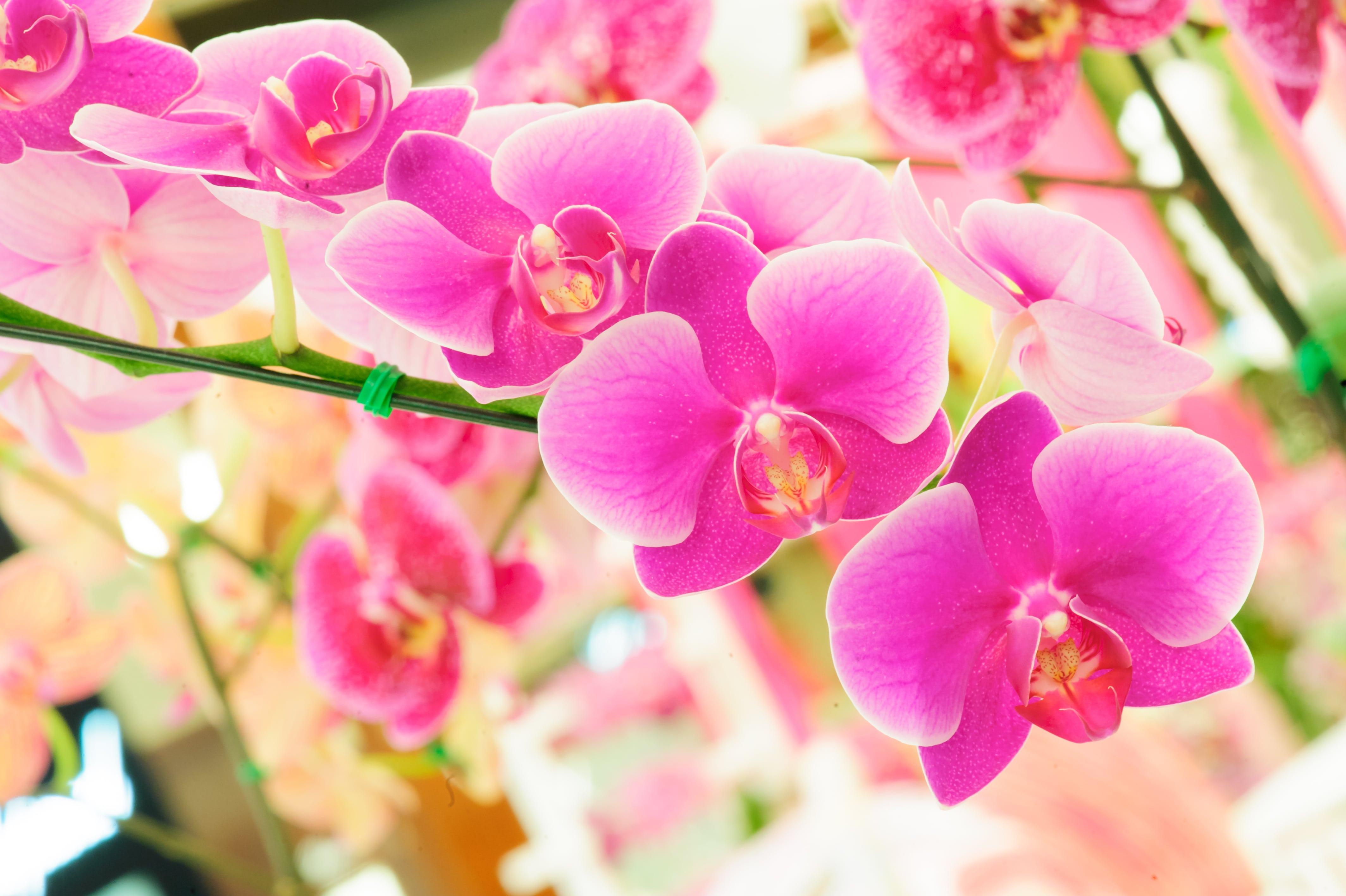 ショッキングピンクの胡蝶蘭