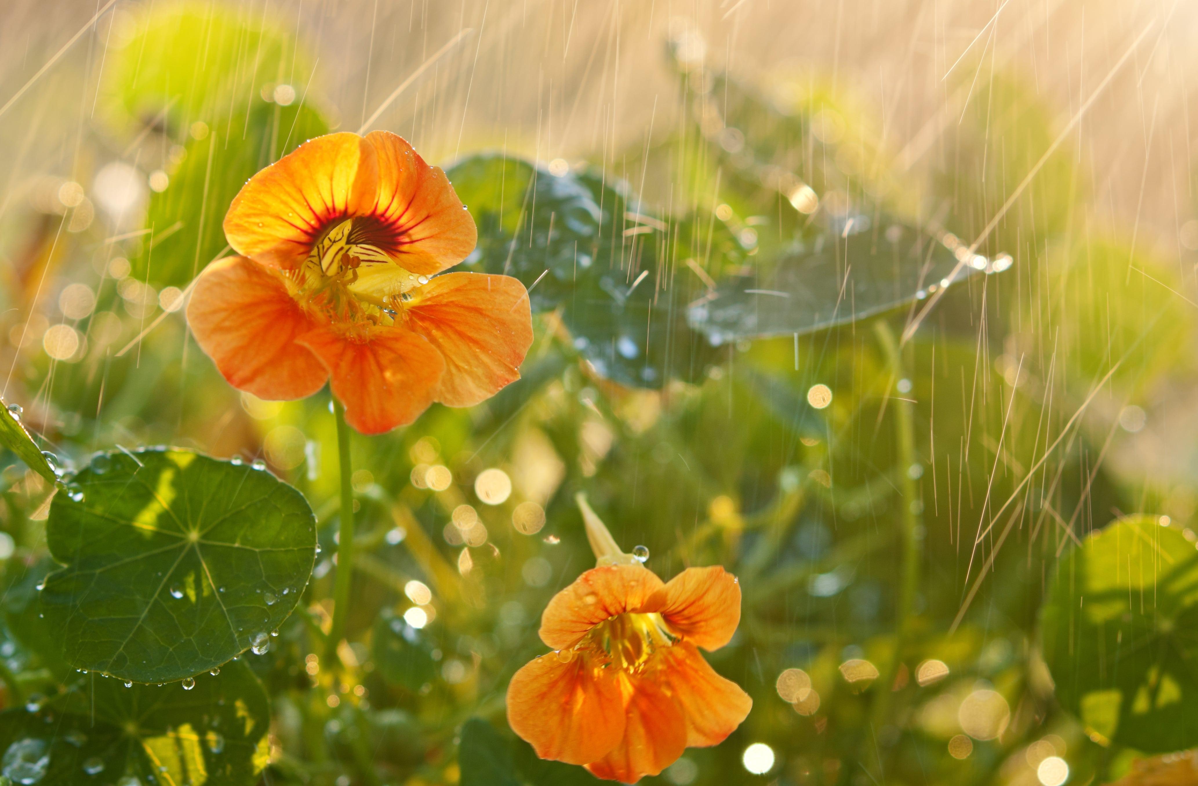 オレンジの胡蝶蘭