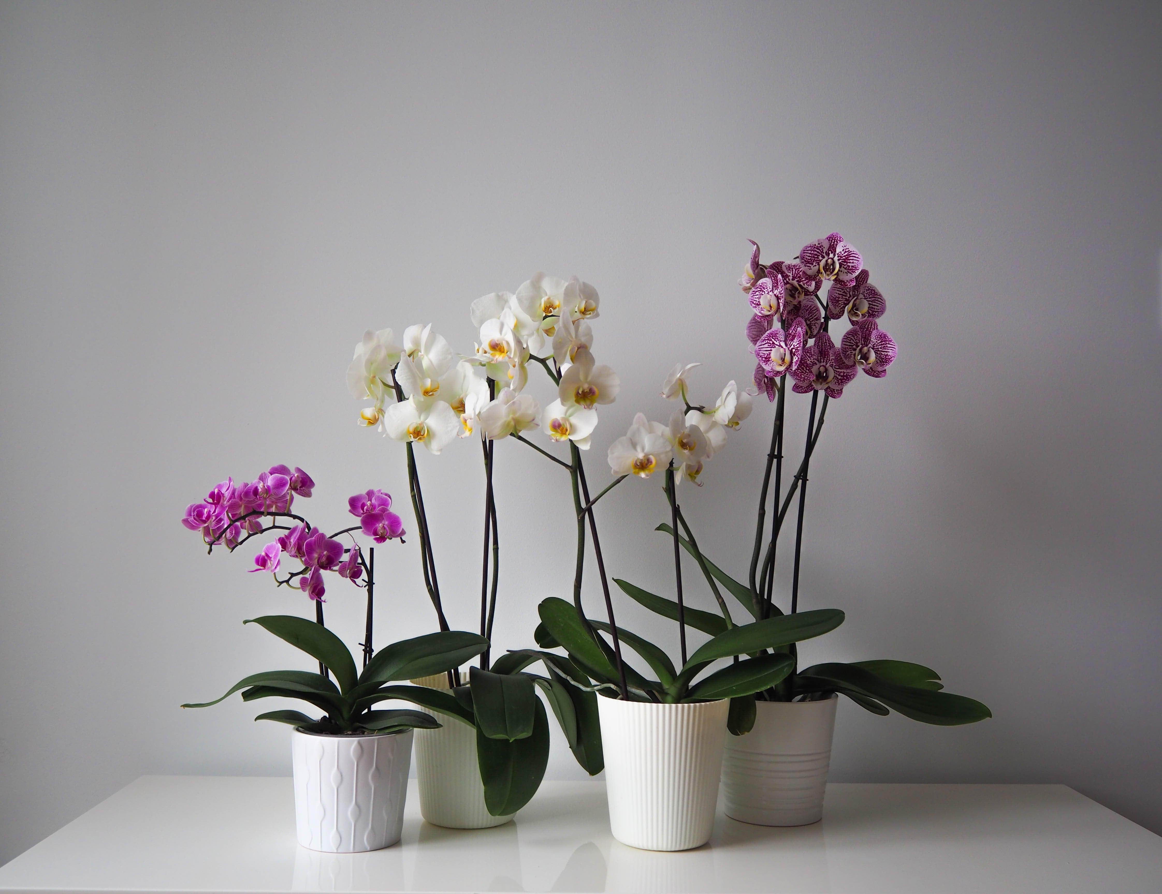 胡蝶蘭の鉢植え3つ