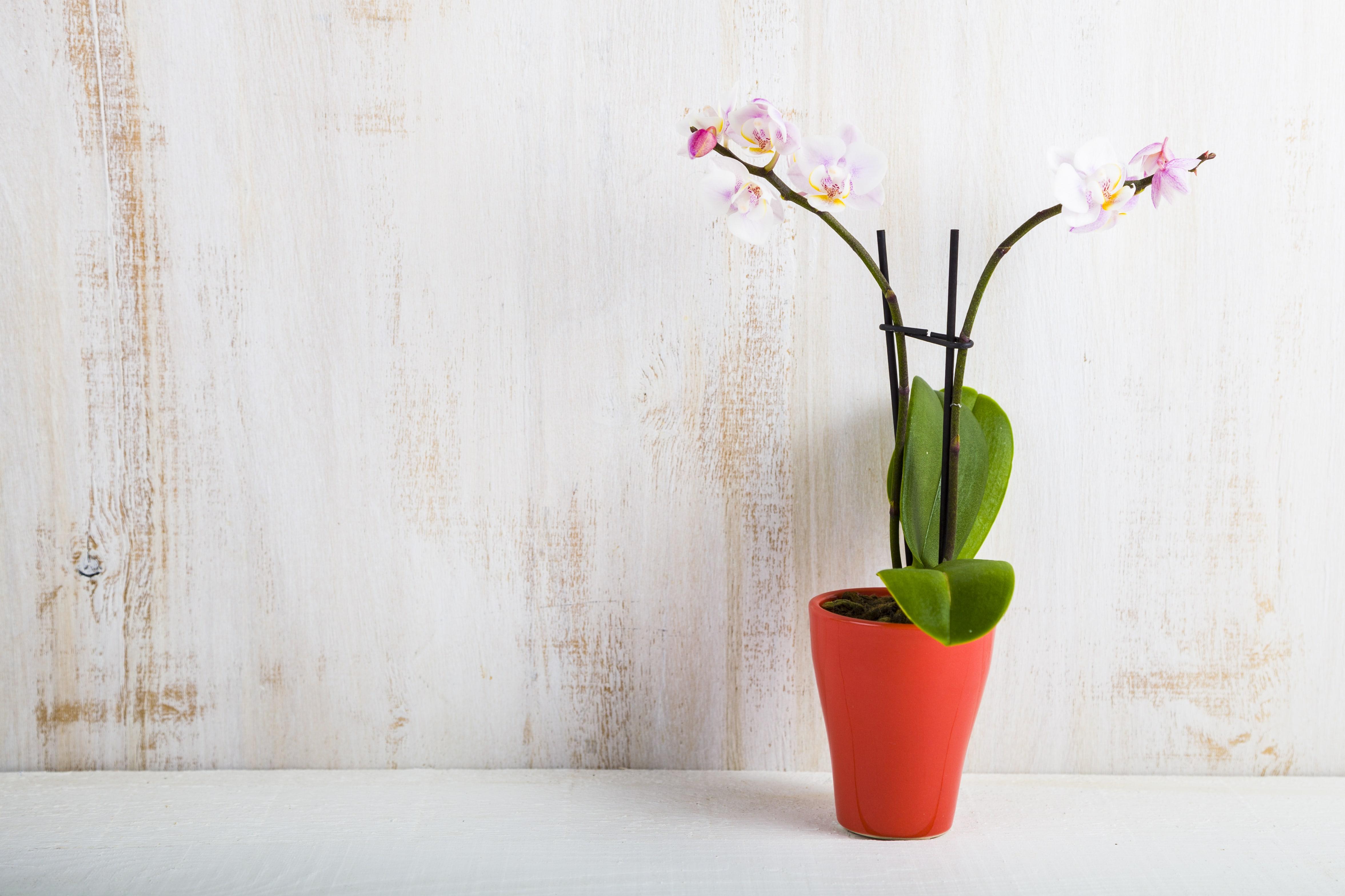 可愛い胡蝶蘭