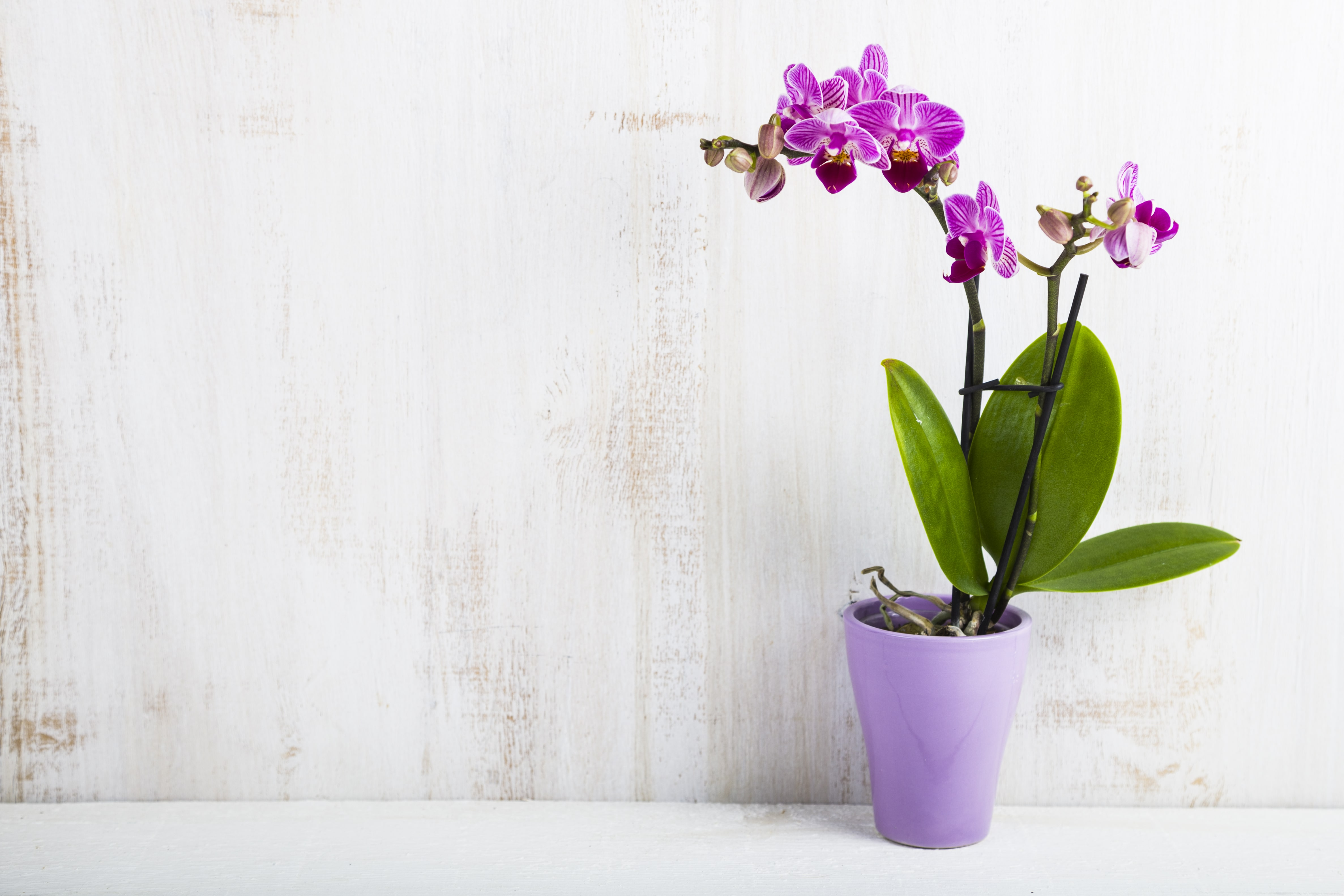 紫の胡蝶蘭の鉢植え