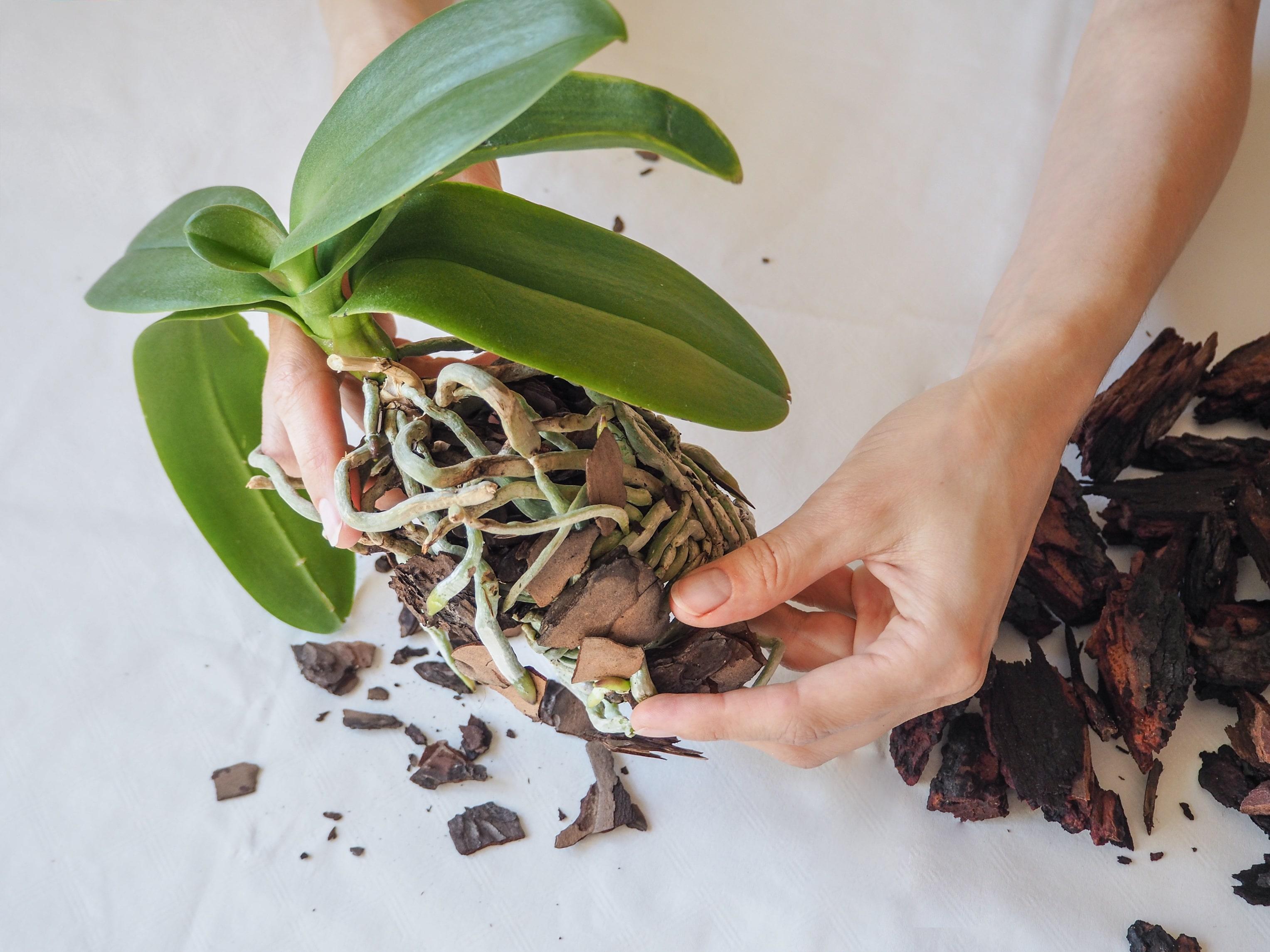 胡蝶蘭の根