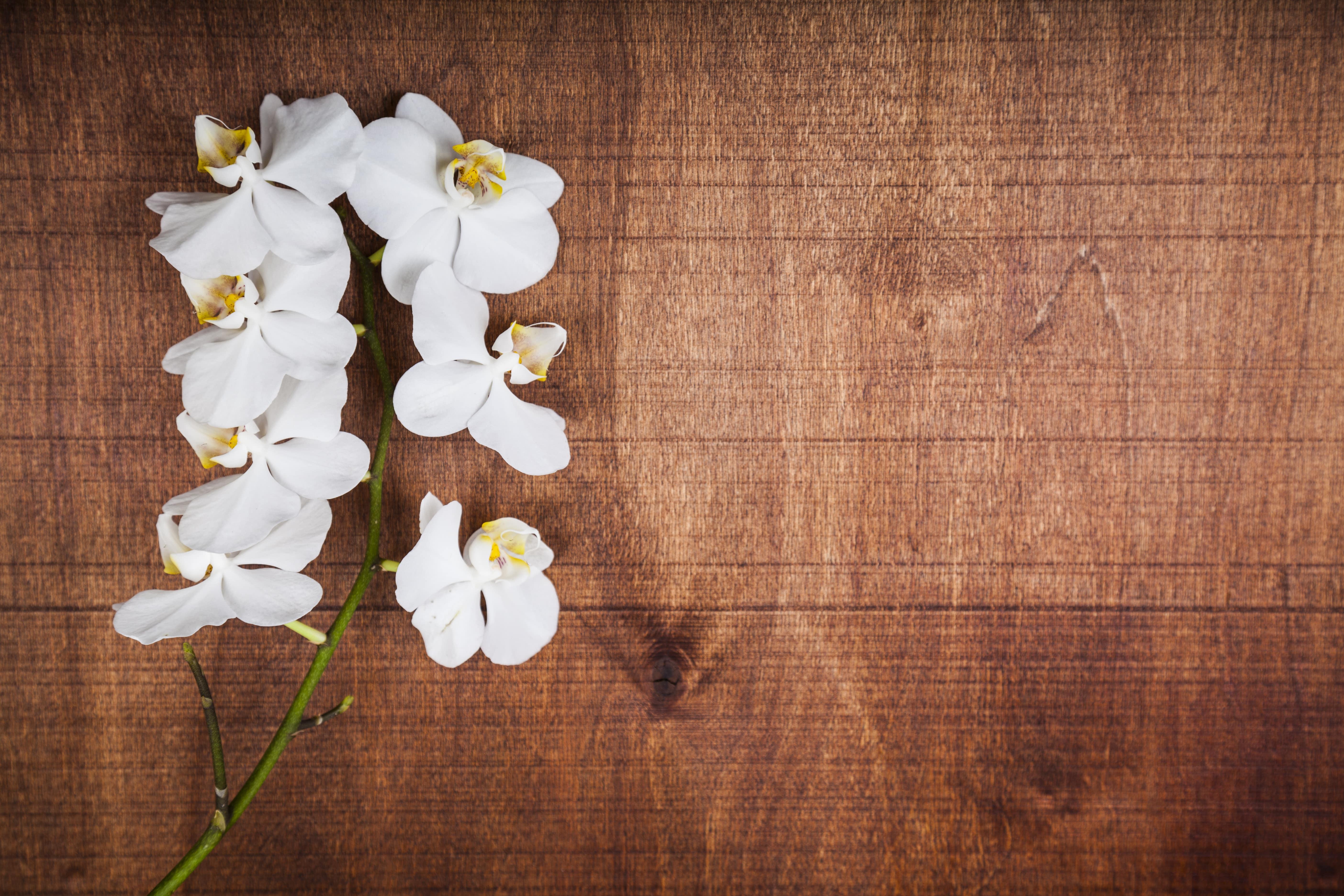 切り花の胡蝶蘭
