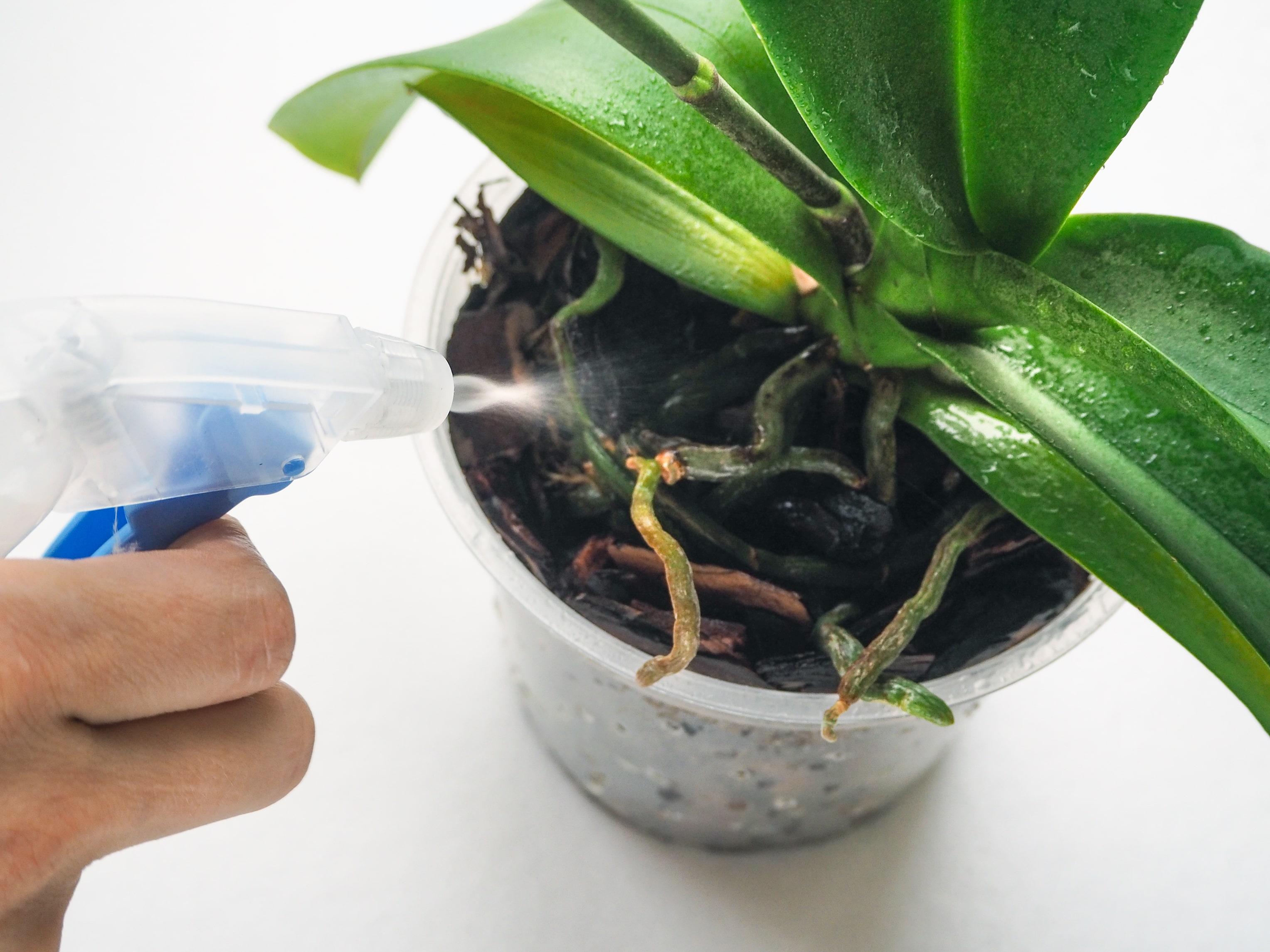 胡蝶蘭の水やり