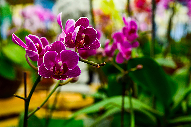 濃い紫の胡蝶蘭